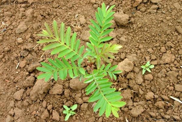 枫杨种子发芽出苗图片