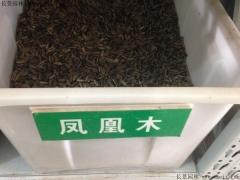 凤凰木种子
