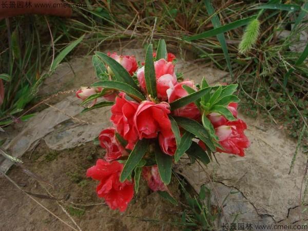 凤仙花种子发芽出苗开花图片