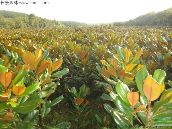 广玉兰种子发芽出苗图片
