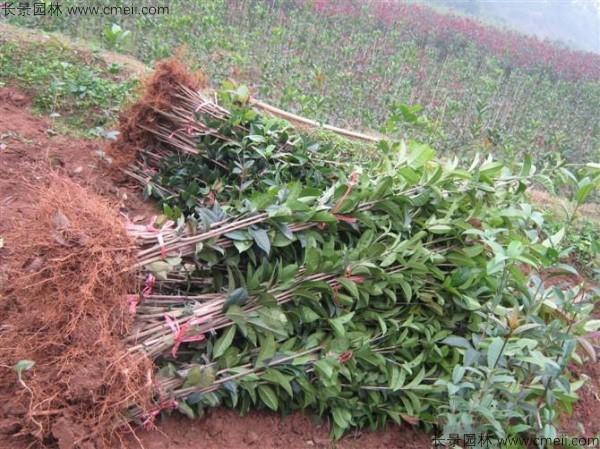 桂花种子图片