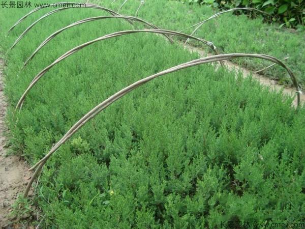 桧柏种子发芽出苗图片