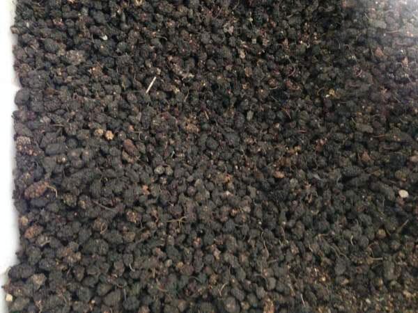 桑树种子图片