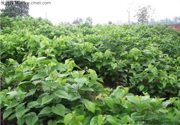 桑树种子发芽出苗图片