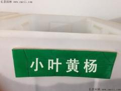 小叶黄杨种子