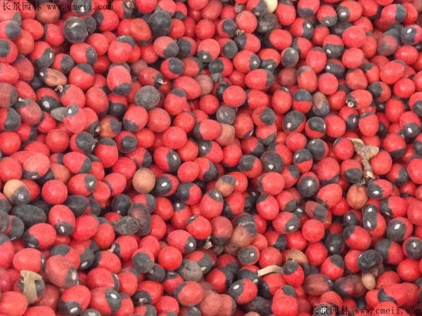红豆种子图片