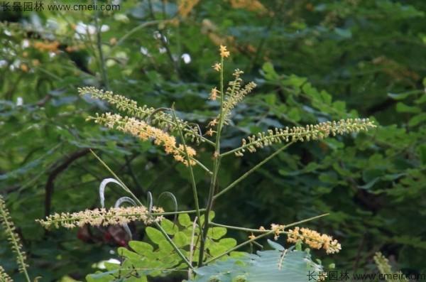 红豆树开花图片