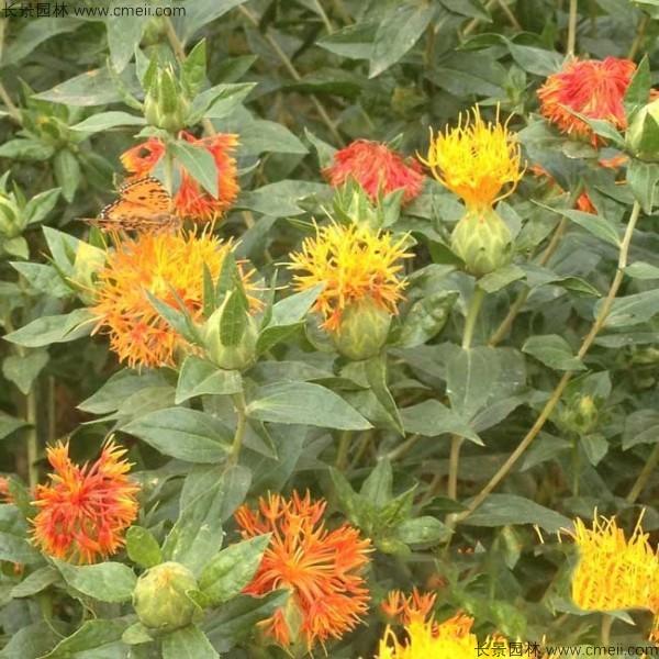 红花种子发芽出苗图片