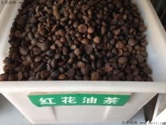 红花油茶种子