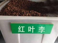 红叶李种子
