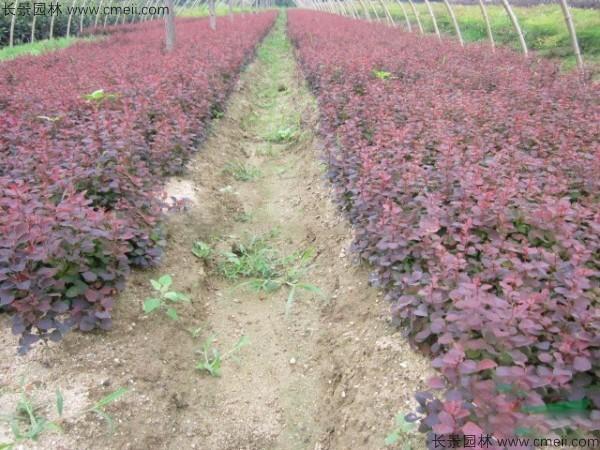 红叶小檗种子发芽出苗图片