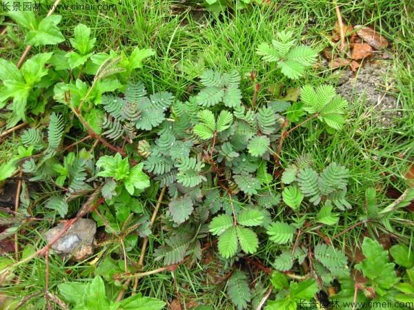 含羞草种子发芽出苗图片