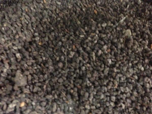 海桐种子图片