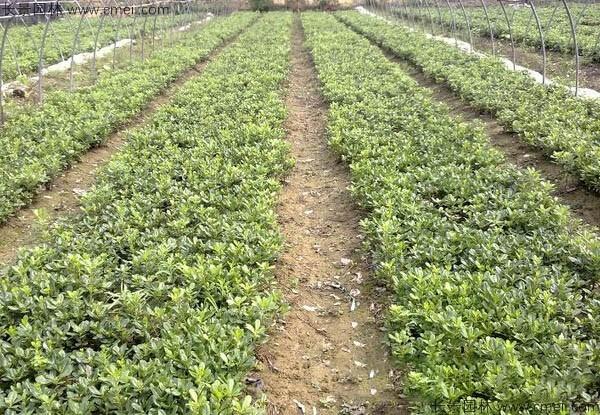 海桐种子发芽出苗图片