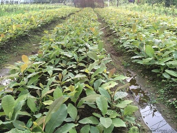 厚朴种子发芽出苗图片