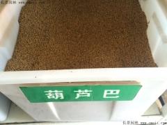 葫芦巴种子