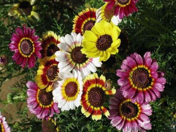 花环菊种子发芽出苗图片