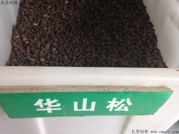 华山松种子图片