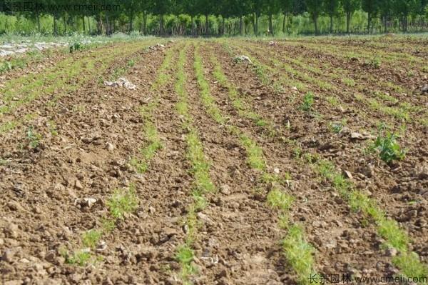 华山松种子发芽出苗图片