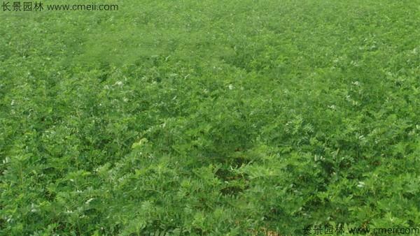 黄芪种子发芽出苗图片