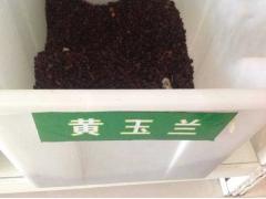 黄玉兰种子