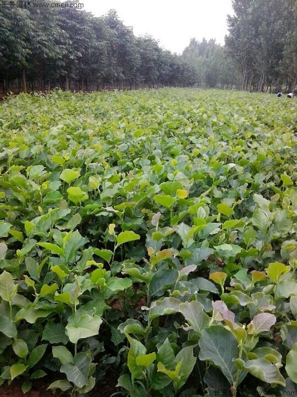 玉兰种子发芽出苗图片