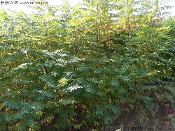 火炬树种子发芽出苗图片
