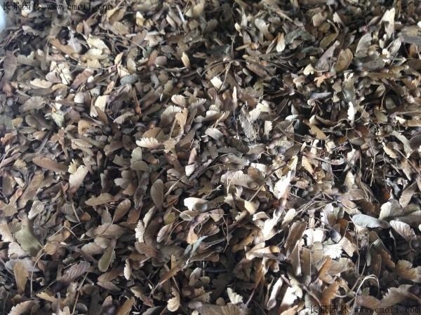 鸡爪槭种子图片