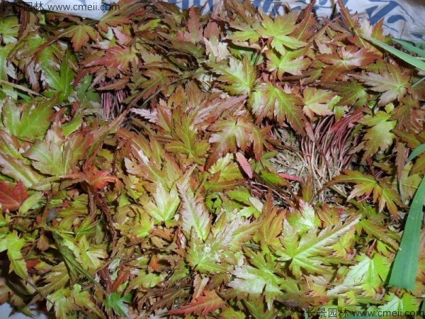 鸡爪槭种子发芽出苗图片