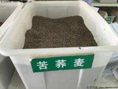 苦荞麦种子