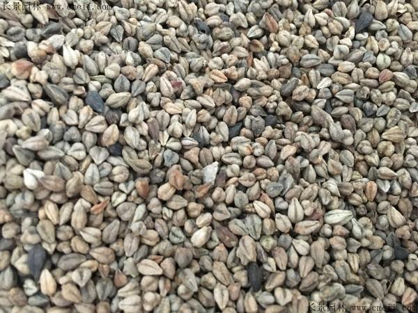 苦荞麦种子图片