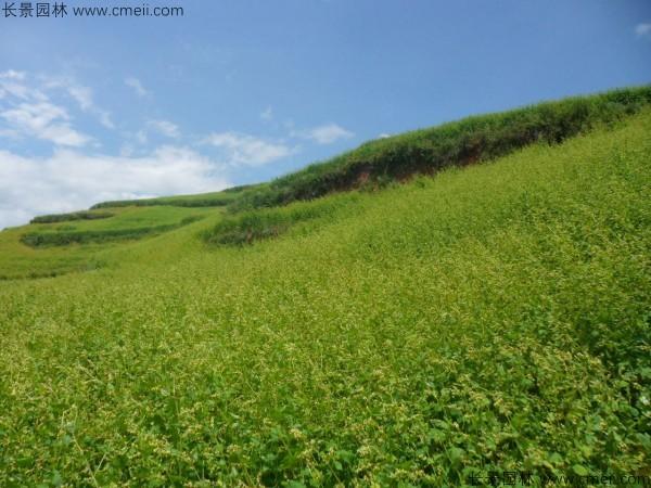 苦荞麦种子发芽出苗图片