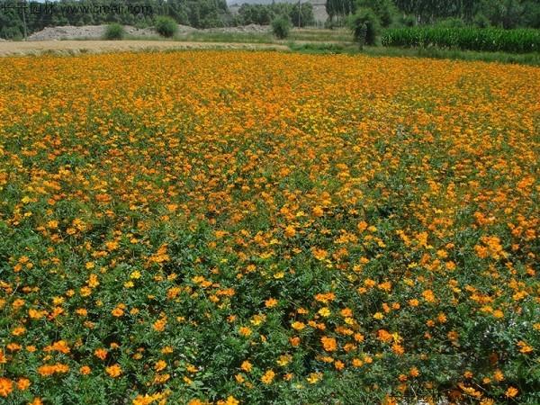 硫华菊种子发芽出苗图片