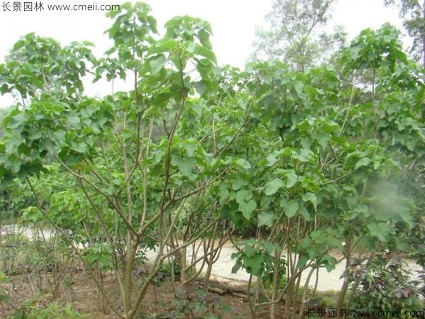 麻疯树种子发芽出苗图片