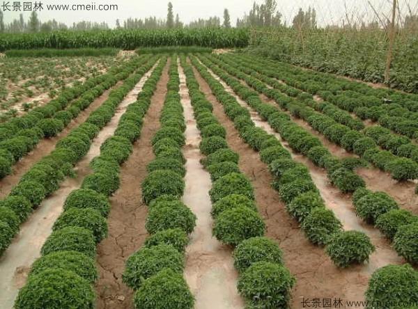 罗勒种子发芽出苗图片