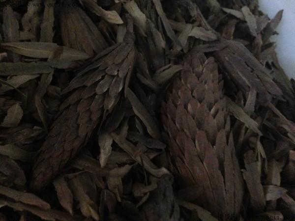 马褂木种子图片