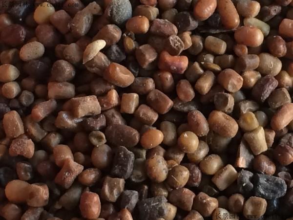 马棘种子图片