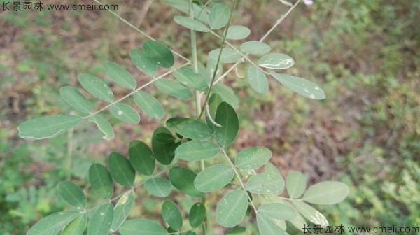 马棘种子发芽出苗图片
