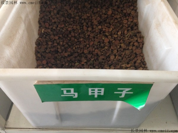 马甲子种子图片