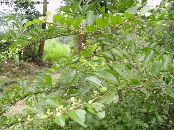 马甲子种子发芽出苗图片