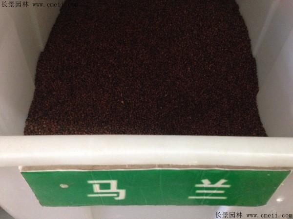 马兰种子图片