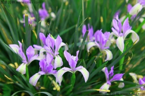 马兰种子发芽出苗图片