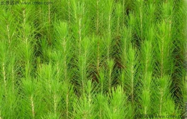 马尾松种子发芽出苗图片