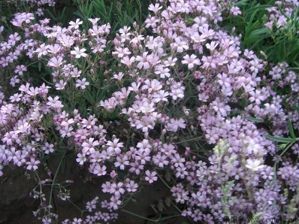 满天星植物开花图片