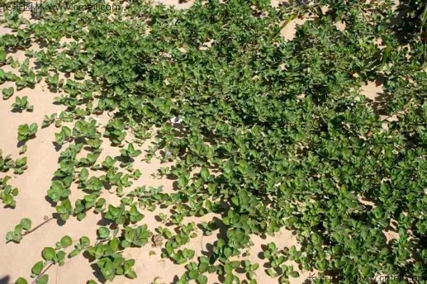 蔓荆子植物图片