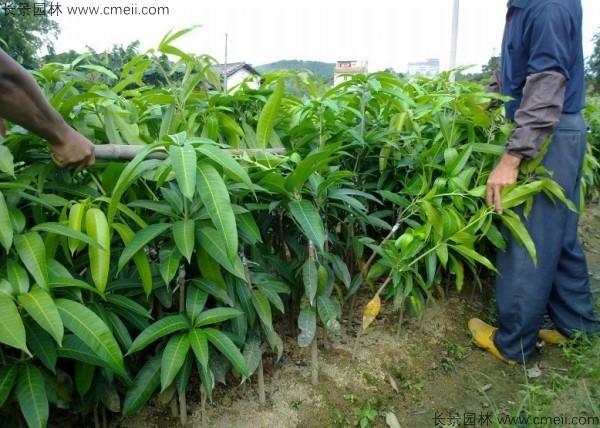 芒果种子发芽出苗图片