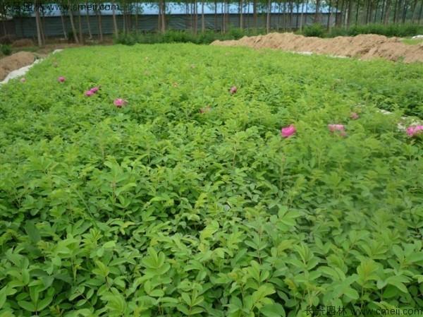 正宗玫瑰花种子发芽出苗图片