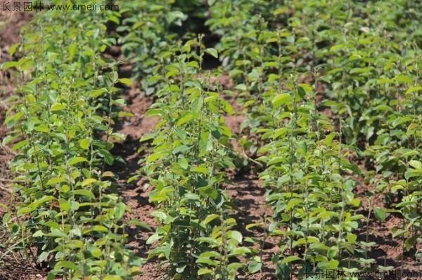 木瓜树种子发芽出苗图片