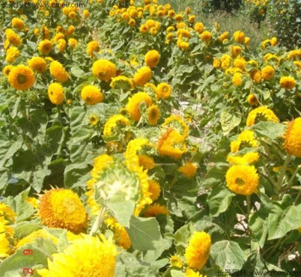 迷你向日葵种子发芽出苗开花图片