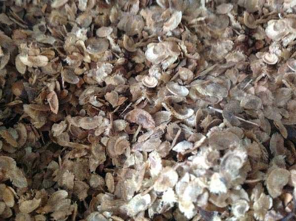 木荷种子图片